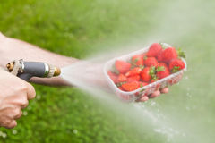 Man's hand holding old water sprinkler washing strawberrie Royalty Free Stock Photo