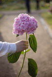 Man's hand holding a pink hydrangea flower in park background Royalty Free Stock Images