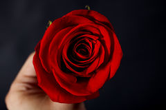 Man's hand holding  red rose Stock Images