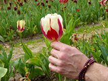 A man's hand holding a red and white tulip Royalty Free Stock Photos