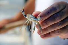 Man's hand holding small crab Stock Image