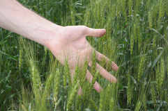 Man's hand holding spicas of wheat Royalty Free Stock Photos
