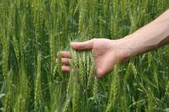 Man's hand holding wheat Royalty Free Stock Photography