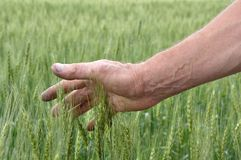 Man's hand holding wheat Stock Photo