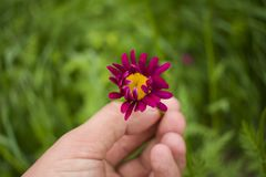 A man`s hand holds a garden flower. The background image royalty free stock photography