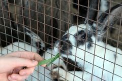 A man`s hand holds a green blade of grass for feeding rabbits in a cage. royalty free stock photo