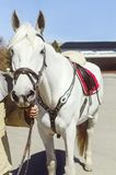 The man`s hand holds a white horse under the bridle, close-up, front view royalty free stock images