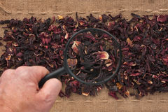 Man's hand with magnifying glass over hibiscus Royalty Free Stock Photography