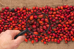Man's hand with magnifying glass over rosehip Stock Images