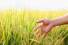Man's hand with rice field. Stock Photos