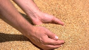 Man`s hand takes grains. Grain of yellow color. Wheat fields give rich crop. Cereals have grown in price stock photos