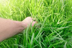 The man's hand is tearing the green lush grass, holding onto the grass royalty free stock photography