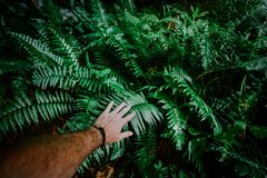 The man`s hand touches green fern leaves. Adventure, discovery, exploring, ecology and environmental protection concept stock images