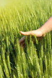 Man's hand touching green wheat. In the agricultural field Stock Photos