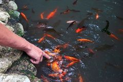 Man`s hand touching the water with carp koi fishes feeding royalty free stock photos