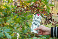 Man's hand trying to get $ 100 from the branch. Hundred dollar bills weigh autumn clothespins on a branch Stock Illustration