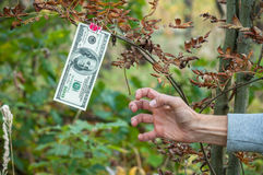 Man's hand trying to get $ 100 from the branch. Hundred dollar bills weigh autumn clothespins on a branch Royalty Free Illustration