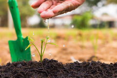 Man's hand watering a young plant. Stock Photo