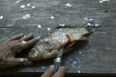 Man& x27;s hands cutts and cleans river fresh fish with knife on a dirty weathered wooden surface stock photo