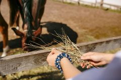 Man`s hands are fed with hay horse. Summer morning. royalty free stock photography