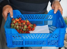 Man`s hands holding juicy red strawberries in a blue box stock photography