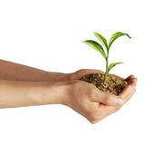 Man's hands holding soil with a little growing green plant. Viewed from a side, on white background, with clipping path included Royalty Free Stock Images