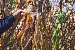 Man`s Hands picking corn on field in harvesting autumn season Stock Photo