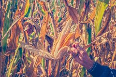 Man`s Hands picking corn on field in harvesting autumn season Royalty Free Stock Photography