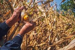 Man`s Hands picking corn on field in harvesting autumn season Royalty Free Stock Photo
