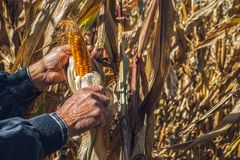 Man`s Hands picking corn on field in harvesting autumn season. Close view stock photos
