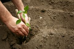Man`s hands planted a young plant of pepper in the ground. Planting pepper seedlings. Making a hole in the ground to plant paprik. A seedling stock image