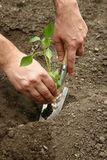 Man`s hands planted a young plant of pepper in the ground. Planting pepper seedlings. Making a hole in the ground to plant paprik. A seedling royalty free stock image