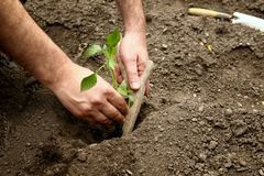 Man`s hands planted a young plant of pepper in the ground. Planting pepper seedlings. Making a hole in the ground to plant paprika seedling stock photos