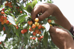 Man's Hands Plucking Cherries Stock Photo