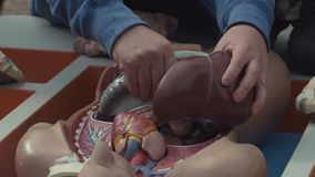 Man`s hands put together pieces of plastic human anatomy model placed in box. Man`s hands are putting together organ pieces of medical educational plastic stock footage