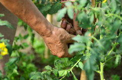 Man's hands tying up branches of plants. Farmers planted tomatoes in garden Stock Image