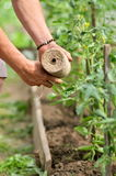 Man's hands tying up branches of plants. Farmers planted tomatoes in garden Stock Photo