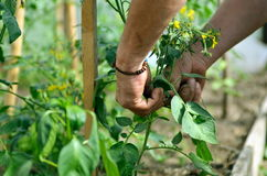 Man's hands tying up branches of plants. Farmers planted tomatoes in garden Stock Photos