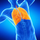 A man´s lung Stock Photo