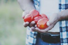 Man& x27; s ręki mienia czerwoni słodcy pomidory Zdjęcia Royalty Free