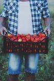 Man& x27; s ręki mienia czerwoni słodcy pomidory Fotografia Stock