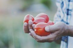 Man& x27; s ręki mienia czerwoni słodcy pomidory Fotografia Royalty Free