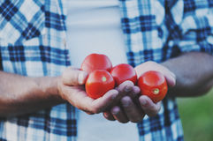 Man& x27; s ręki mienia czerwoni słodcy pomidory Zdjęcie Royalty Free