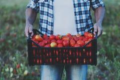 Man& x27; s ręki mienia czerwoni słodcy pomidory Obrazy Stock