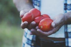 Man& x27; s ręki mienia czerwoni słodcy pomidory Zdjęcie Stock