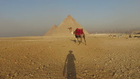 Man's shadow approaching to camel at Giza pyramids. Cairo, Egypt stock video