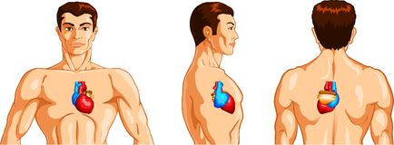 Man`s torso with human heart Royalty Free Stock Photography