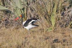 Man Sadel-fakturerad stork som fluffar vingar Arkivbilder