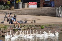 Man sat on canal wall with many swans by his feet which are dangling in the water. Stratford upon Avon Warwickshire England UK 18/4/2018 man sat on river wall royalty free stock photo