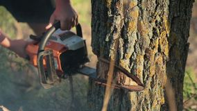 Man sawing a dry tree with chainsaw Royalty Free Stock Images
